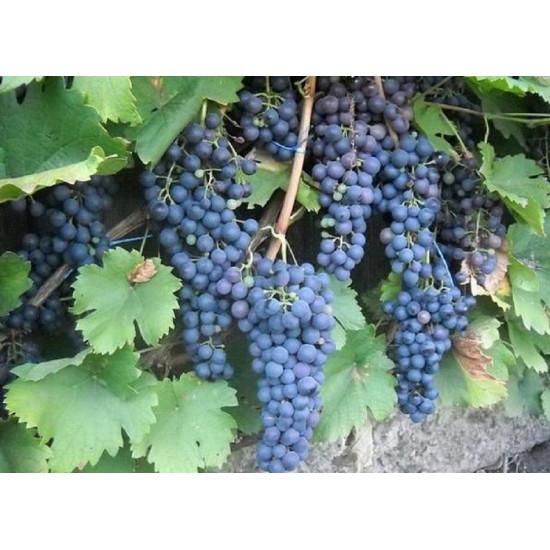 Виноград Маркетт