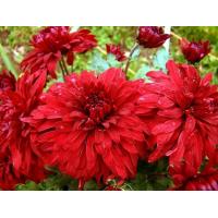 Хризантема Дипломат (крупноцветковая)