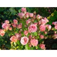 Роза Little Dream (спрей)