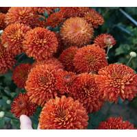Хризантема Салютная (среднецветковая)