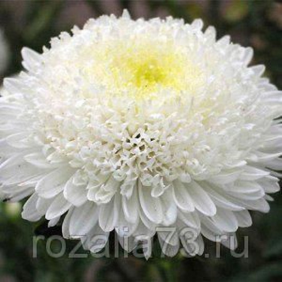 Астра Белое солнце Арт. 5669 | Семена