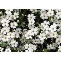 Гипсофила Изваяние изящная белая Арт. 5692 | Семена