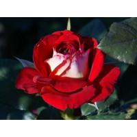 Роза Нью Фешн(чайно-гибридная)