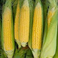 Кукуруза Попкорн Сахарок Арт. 5377 | Семена