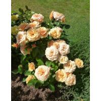 Роза Александра Кордана (миниатюрные)