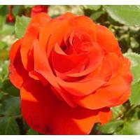 Роза Ремембрэнс (штамбовая)