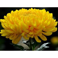 Хризантема Мираж  (крупноцветковая)