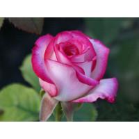 Роза Белла Вита(чайно-гибридная)