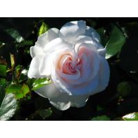 Роза Аспирин Розе (парковая)