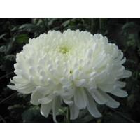 Хризантема Хрустальная Ваза  (крупноцветковая)