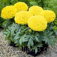 Тагетес Лимонный принц Арт. 5747 | Семена