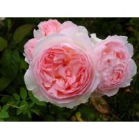 Роза Эглантин (английские)